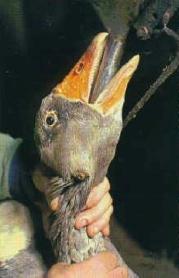 foie gras(2)