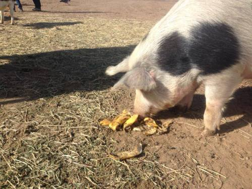 A banana-loving pig at Peaceful Prairie.