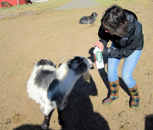 There I am, explaining to a goat that I am a vegan.