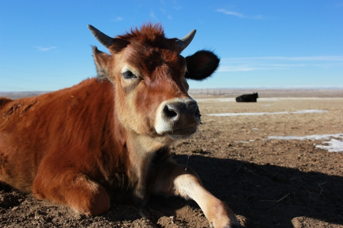 A lovely bovine friend at Peaceful Prairie. Photo by Josh Valentine.