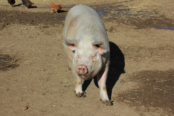 An adorable pig living at Peaceful Prairie.