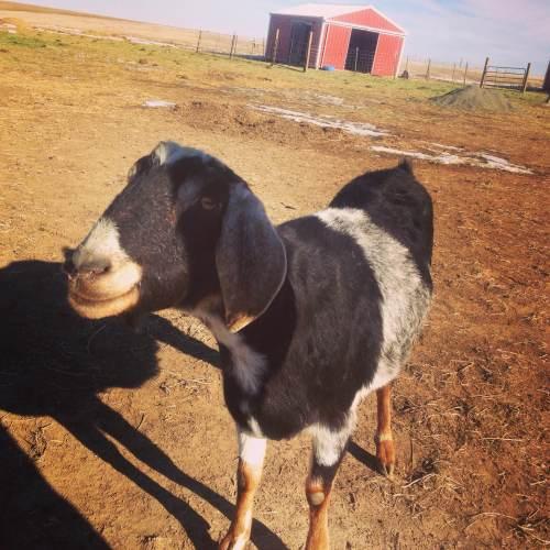 A goat friend at Peaceful Prairie.